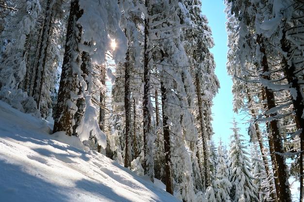 Pijnbomen bedekt met vers gevallen sneeuw in het winterbergbos op koude heldere dag.