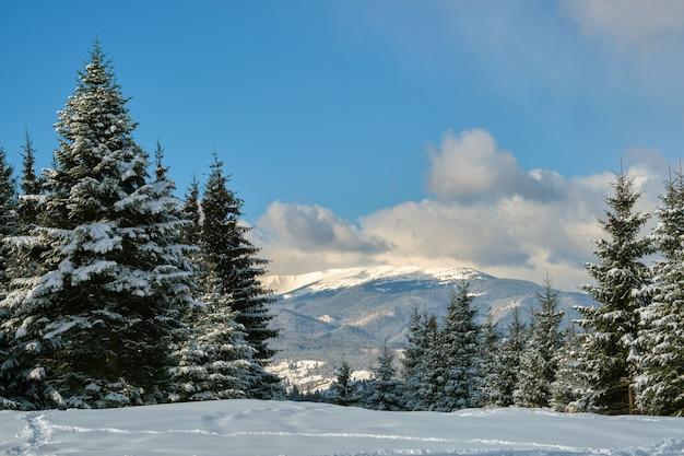 Pijnbomen bedekt met verse gevallen sneeuw in de winter bergbos op koude heldere dag.
