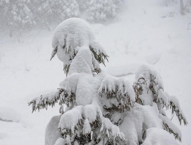 Pijnbomen in de winter woud. bos fragment. japan. nagano. jigokudani monkey park.
