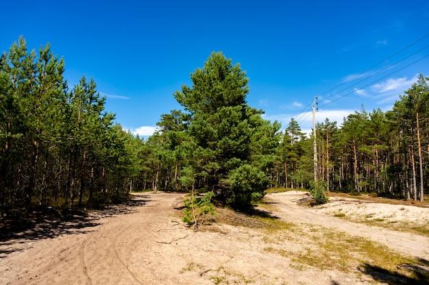 Pijnbomen in een bos