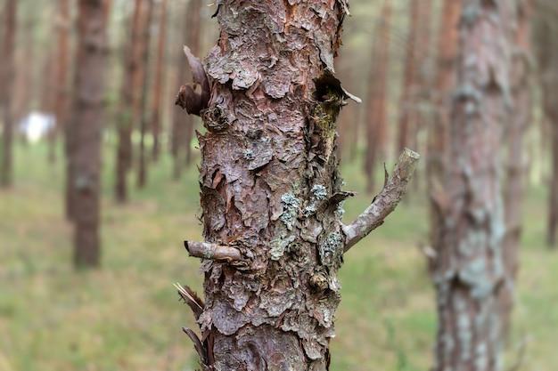 Pijnbomen in het bos.
