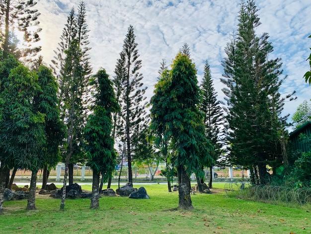 Pijnbomen in het park