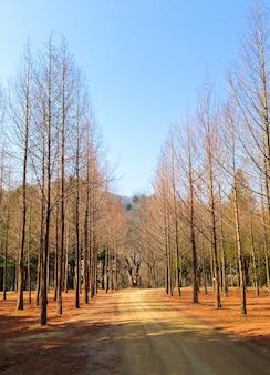 Pijnbomen op de zijweg ziet eruit als een dobbelsteen zal nieuwe bladeren en mooi weer ontspruiten.