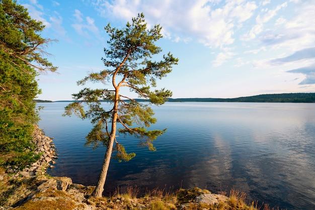 Pijnboom aan de rand van de kust van het eiland op het meer