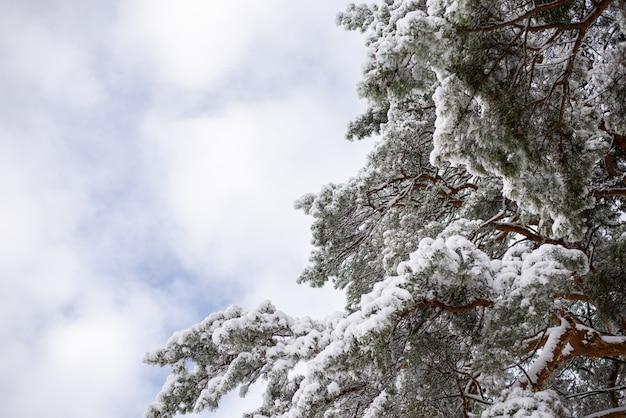 Pijnboom bedekt met witte pluizige sneeuw