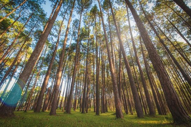 Pijnboom bij zonsopgang in boa keaw silvicultural research station