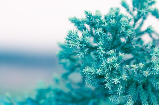 Pijnboom, evergreen jeneverbes achtergrond. kerst en winter behang.
