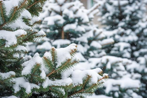 Pijnboom groene tak onder sneeuw met vage copyspace.