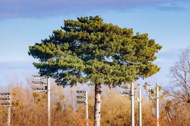 Pijnboom met weelderige kroonclose-up op de blauwe hemelachtergrond. herfst landschap