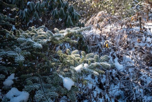 Pijnboomblad met sneeuw in wintertijd