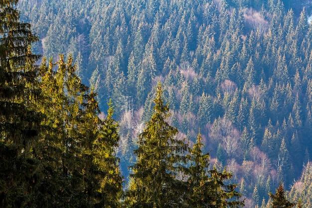 Pijnboombomen in bergbos