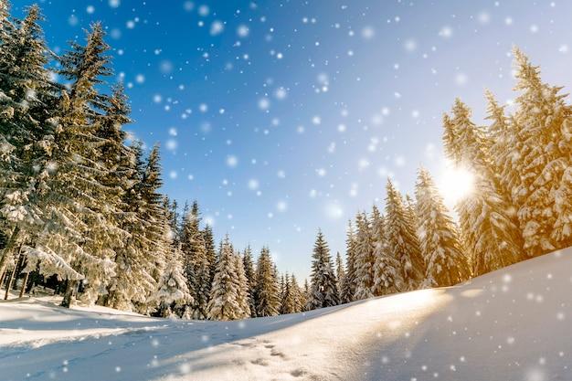 Pijnboombomen in bergen en dalende sneeuw in de zonnige ochtend van de sprookjewinter