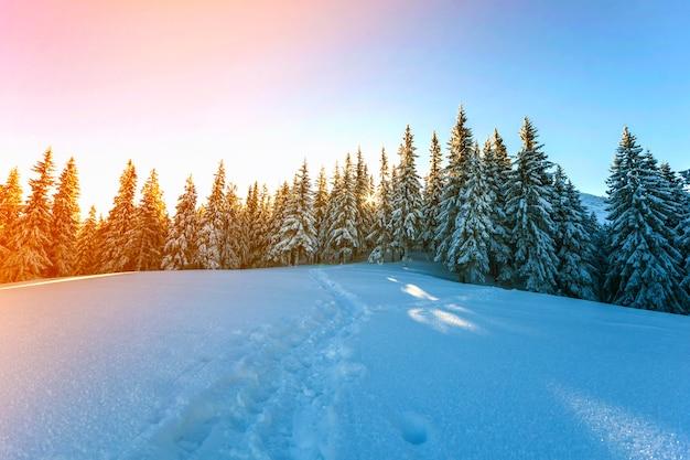 Pijnboombomen in bergen in de winter zonnige dag.