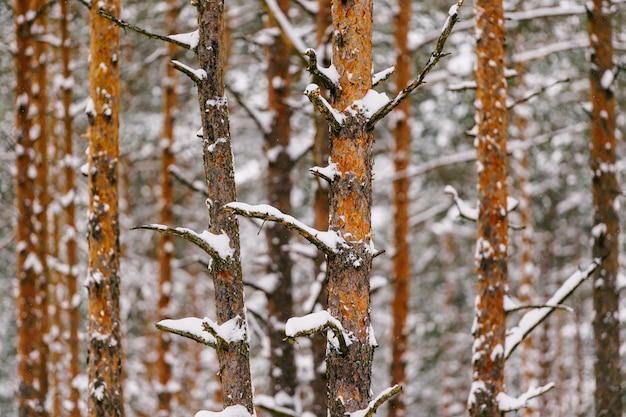 Pijnboombomen in de winterbos met sneeuw wordt behandeld die. magisch houten landschap. houten abstracte achtergrond van pijnboomboomstammen met boomboegen en geweven gele en bruine schors. schilderachtig uitzicht in de winter