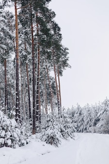 Pijnboomboom in de witte sneeuwdekking over het de winterbos