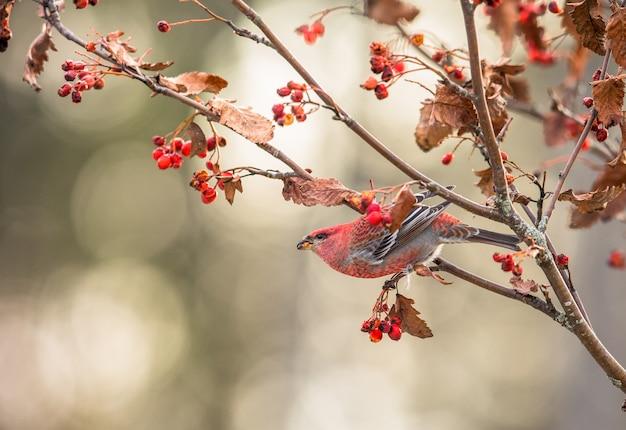 Pijnboomgrosbeak, pinicola-enucleator, mannelijke vogel die op sorbus-bessen voeden