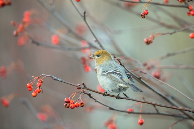 Pijnboomgrosbeak, pinicola-enucleator, vrouwelijke vogel die op bessen voeden