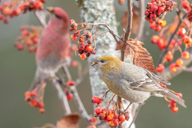 Pijnboomgrosbeak, pinicola enucleator, vrouwelijke vogel vooraan