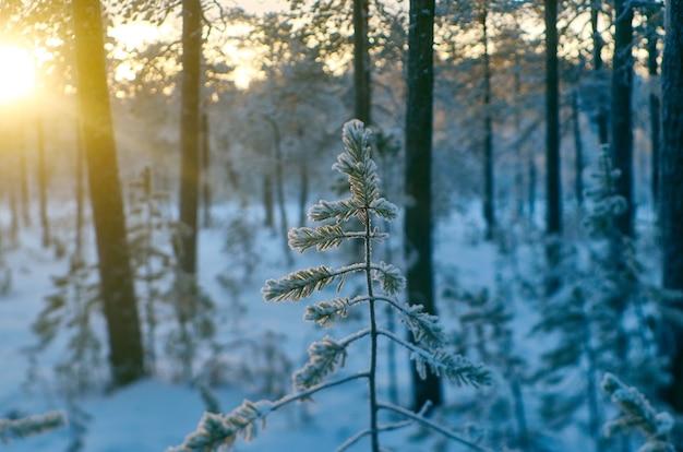 Pijnboomsneeuwtak, winterlandschap met het dennenbos en zonsondergang, ondiepe scherptediepte