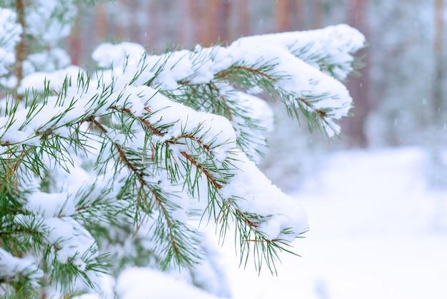 Pijnboomtakken bedekt met sneeuw op een wazige winterbosachtergrond