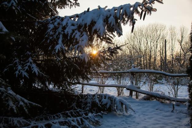 Pijnboomtakken in een sneeuw en een zonsondergang