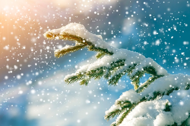 Pijnboomtakken met groene naalden bedekt met diepe verse schone sneeuw op een wazige blauwe buitenruimte-achtergrond prettige kerstdagen en gelukkig nieuwjaar groet briefkaart. zacht lichteffect.