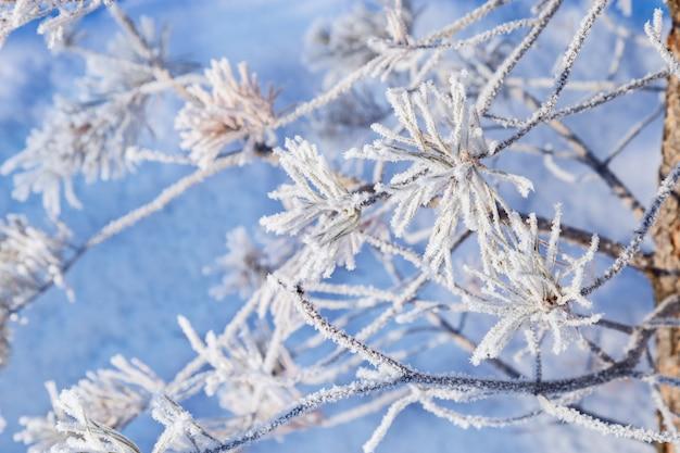 Pijnboomtakken met naalden bedekt met vorst tegen sneeuw