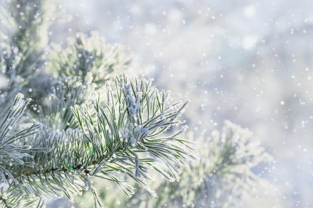 Pijnboomtakken met naalden met rijp op ijzige dag worden behandeld die