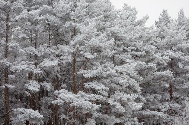 Pijnboomtakken onder de sneeuw