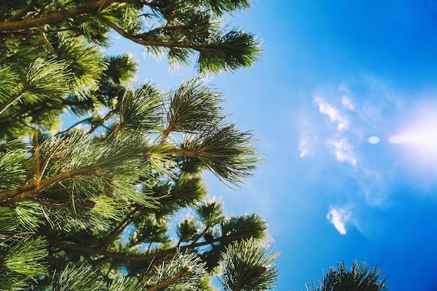 Pijnboomtakken tegen blauwe lucht natuurlandschap aan de europese zeekust