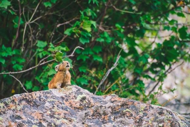Pika knaagdier op klif tussen rijke planten van hooglanden. klein nieuwsgierig dier op rots.