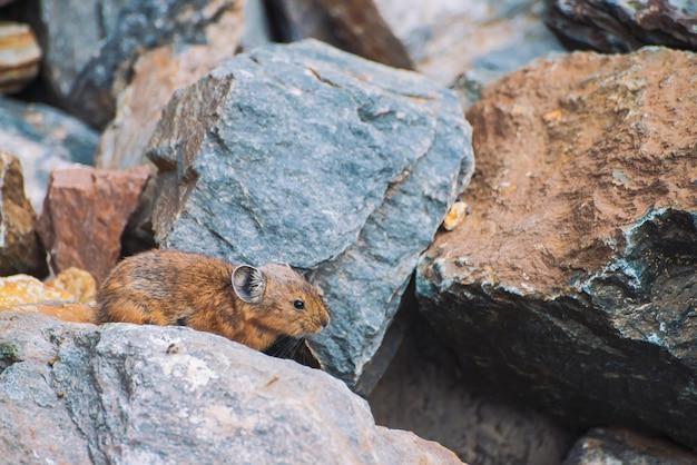 Pika knaagdier op stenen in hooglanden. klein nieuwsgierig dier op kleurrijke rotsachtige heuvel. weinig pluizig schattig zoogdier op pittoreske keien in bergen. kleine muis met grote oren. kleine behendige pika.