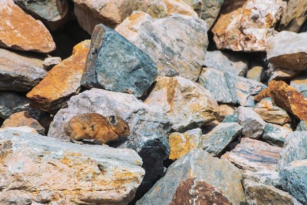 Pika knaagdier op stenen in hooglanden.