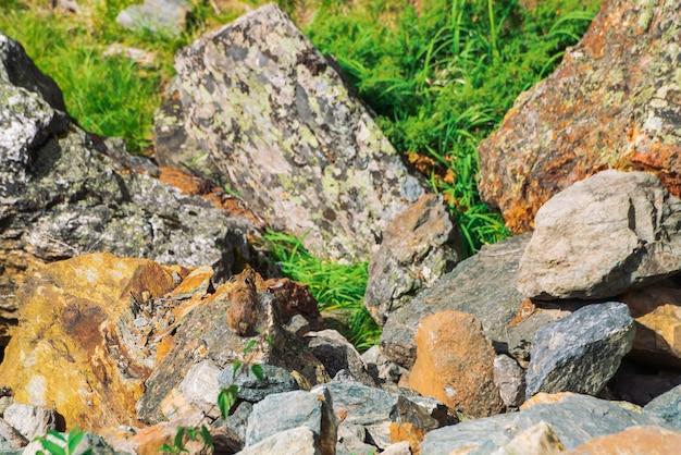 Pika knaagdier op stenen in hooglanden