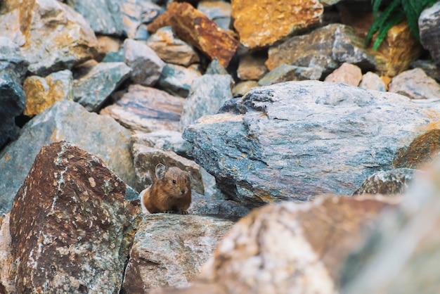Pika knaagdier op stenen