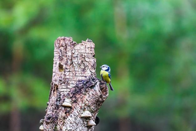 Pimpelmees vogel zittend op een boomstronk