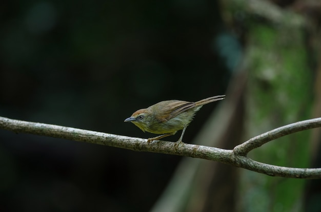 Pin-striped tit babbler in bos thailand