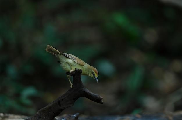 Pin-striped tit babbler (macronus gularis)