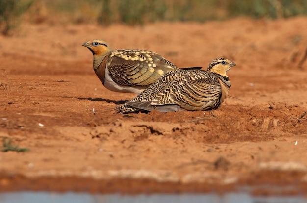Pin-tailed sandgrouse mannetje en vrouwtje drinken in een steppe van aragon, spanje, in een plas water in de zomer