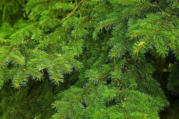 Pine tree achtergrond