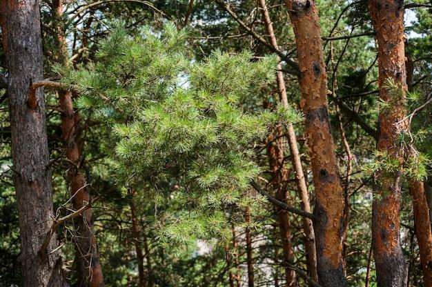 Pine tree forest gemakkelijk verlicht met sky