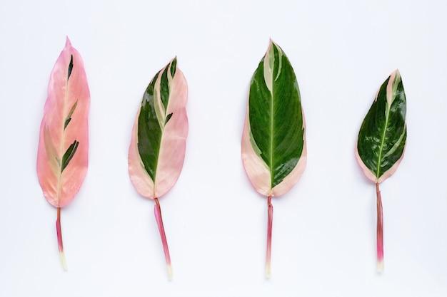 Pingel groene calatheabladeren op witte achtergrond.