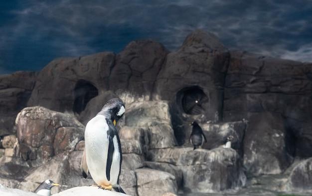Pinguïn in een dierentuin, die het gevederte verzorgt