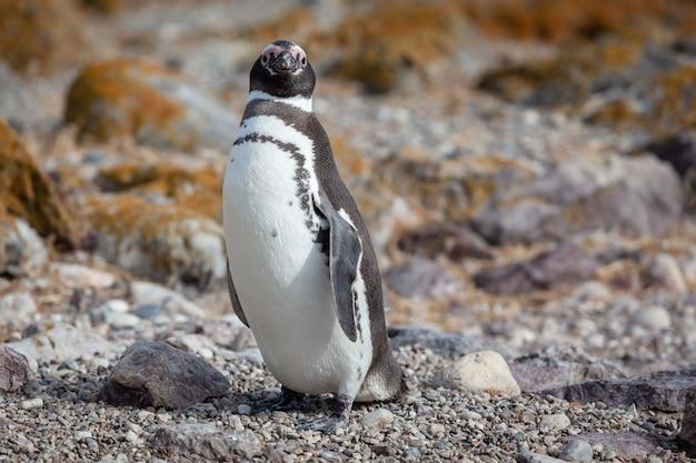 Pinguïn zittend op het rotsachtige strand
