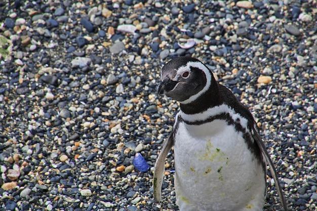 Pinguïns op het eiland in het beaglekanaal sluiten de stad ushuaia in argentinië