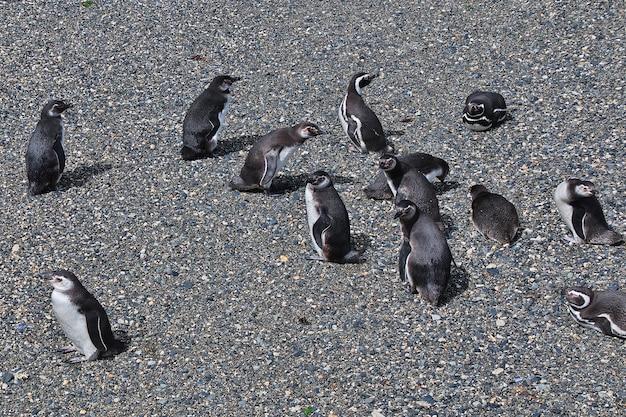 Pinguïns op het eiland in het beaglekanaal sluiten de stad ushuaia in tierra del fuego, argentinië