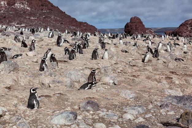 Pinguïns zittend op het rotsachtige strand