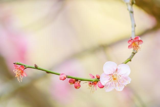 Pink cherry blosssom met blauwe lucht