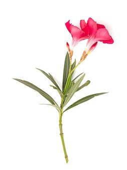 Pink laurel met roze bloemen