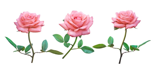 Pink rose bloemen geïsoleerd op een witte achtergrond voor liefde bruiloft en valentijnsdag.